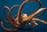 عکس روز نشنالجئوگرافیک: نمایش درام زیر دریا