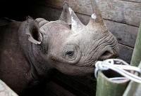 Eight black rhinos die in Kenya during relocation between parks