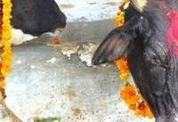 هندوها مرد مسلمانی را به خاطر ظن به قاچاق گاو کشتند