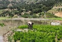 خشکی مهمان شالیزارهای گلستان / لزوم مدیریت بهینه منابع آب
