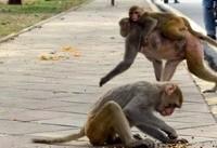 میمونهای دردسرساز، بلای جان مردم در هند
