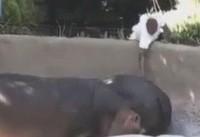 Man Caught on Camera Spanking Hippo at California Zoo