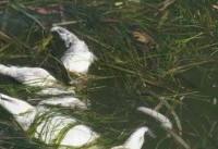 جلبک ها؛ قاتل جدید آبزیان +عکس