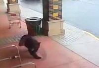 Black bear trying to live its best life just wanted to go to the liquor store