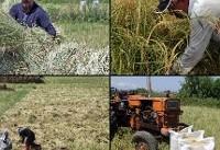 آخرین روزهای برداشت برنج در آستارا +عکس