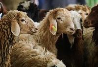 ذبح بیش از ١٢ میلیون رأس دام / افزایش ۳۷ درصدی تولید گوشت شتر