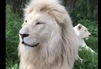 نمایی از زندگی مشترک یک زوج شیر کمیاب! +فیلم