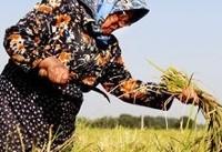 هشدار  هواشناسی به مردم گیلان   خودداری از برداشت برنج