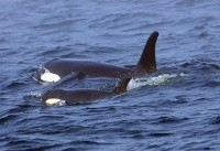 Trump officials sued over killer whales' plummeting population crisis