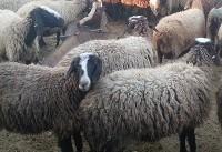 خطر انقراض در کمین گونههای مختلف گاو، گوسفند و بز