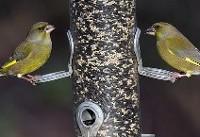 چرا پرندگان آوازخوان چاق نمیشوند؟