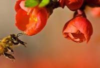 زنبور عسل مهمترین گرده افشان کننده
