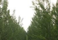 درختان کهنسال کرج ستاره دار میشوند