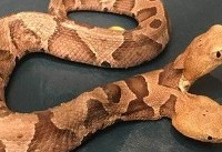 Nightmare two-headed snake found in Virginia just in time for Halloween season