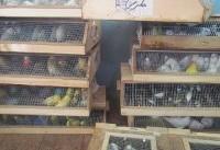 کشف بیش از ۹۰۰ پرنده کمیاب زینتی در خوزستان