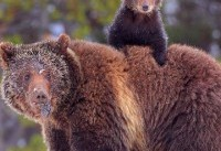Yellowstone grizzlies safe from hunting as judge returns them to protected list