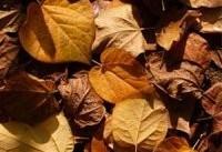 آلرژی&#۸۲۰۴; دارها روی برگ&#۸۲۰۴;های خشک پاییز راه نروند