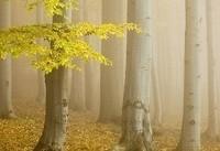 آشنایی با جنگل راش - سوادکوه
