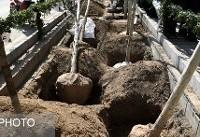 کاشت ۱۱۰۰ اصله درخت چنار در خیابان ولیعصر(عج)