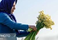 ایران رقیب مصریها در تولید گل نرگس