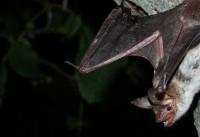 کشف سمِ شفابخش در بزاق خفاشهای خونآشام