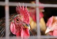 ویرایش ژنتیکی مرغ برای مقابله با شیوع آنفلوآنزا