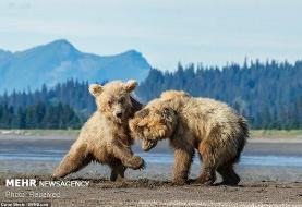 کشته شدن یک قلاده خرس قهوهای در مشگین شهر