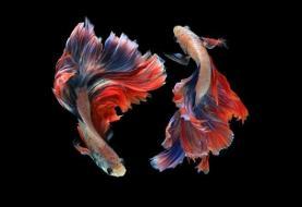 رقصِ با شکوهِ ماهیهای سیامی (عکس)