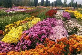 فصل شکفتن گلهای داودی است!