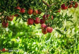 پیش بینی تولید ۴.۵ میلیون تن سیب از باغات کشور/ افت قیمت سیب به دلیل افزایش تولید
