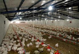 شاخص قیمت تولیدکننده محصولات مرغداریهای صنعتی ٠.٩ واحد درصد کاهش یافت