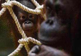 اورانگوتان یک خویشاوند سه متری پیدا کرد