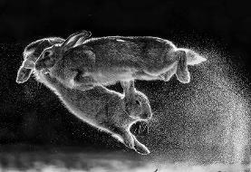 عکس روز: خرگوشهای بازیگوش