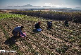 تصاویری از برداشت زعفران در روستای قادرمرز
