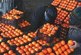 آغاز خرید تضمینی پرتقال طرح ذخیره سازی شب عید