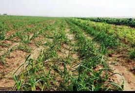 پرداخت ۵ میلیارد تسهیلات به کشاورزان خسارت دیده قائمشهری