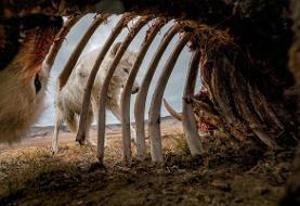 هجوم گرگها به لاشه گاو