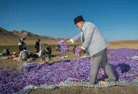 ۲ تن زعفران در طرح خرید حمایتی زعفران از کشاورزان رشتخواری خریداری شد