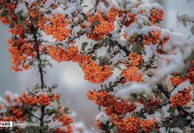 بارش برف در «سقز»+ تصاویر