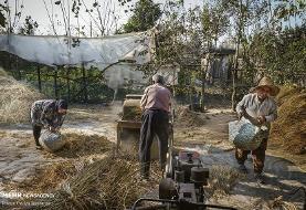 تصاویر خرمنکوبی برنج به روش قدیمی