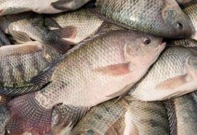 ۱۲۰ تن ماهی تیلاپیا در بافق صید شد