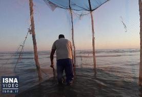 ویدئو / روش کهن صید «مُشتا» و مشکلات امروز آن