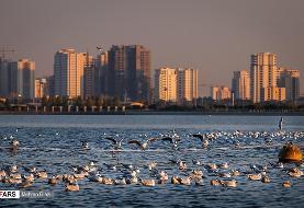 پرندگان سیبری مهمان دریاچه شهدای خلیج فارس تهران +تصاویر