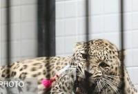 ایجاد بانک اسپرم پلنگ ایرانی در باغوحش تهران