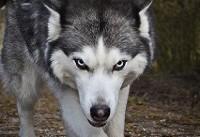 سگ هاسکی و هرآنچه باید درمورد نگهداری آن بدانید