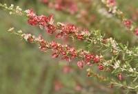کاشت گیاهان کم آبخواه در یزد اجبار است نه انتخاب