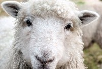 خرید اینترنتی گوسفند زنده و خروس زنده در تهران