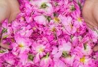 استاندارد گلاب و اسانس گلمحمدی بهروز میشود