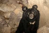 نصب دوربین تلهای برای بررسی رفتارهای خرس سیاه در نیکشهر