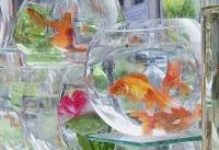 ماهیهای قرمز در قفسهای بلورین